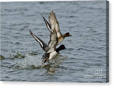 Greater Scaup Pair Canvas Print by Anthony Mercieca