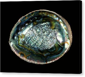 Green Abalone Sea Snail Shell Canvas Print by Gilles Mermet