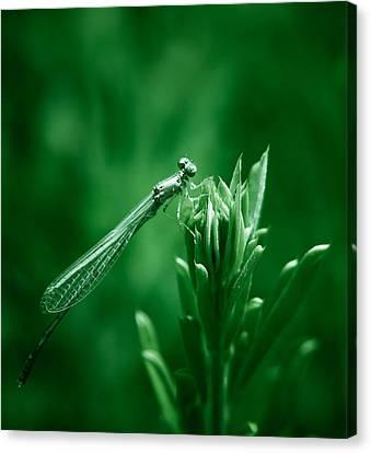 Green Damselfly Canvas Print by Shane Holsclaw