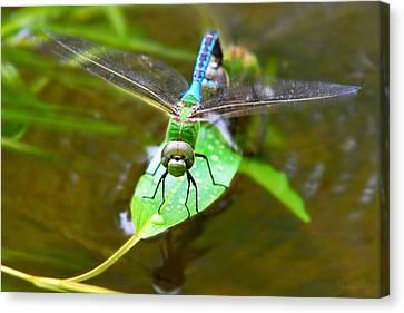 Green Darner Dragonfly Canvas Print by Christina Rollo