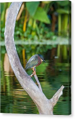 Green Heron On A Crystal Clear Lake Canvas Print by Andres Leon