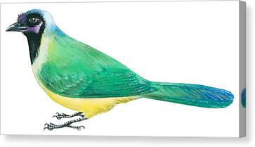 Green Jay Canvas Print by Anonymous