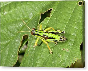 Green Mountain Grasshopper Canvas Print by Bob Gibbons