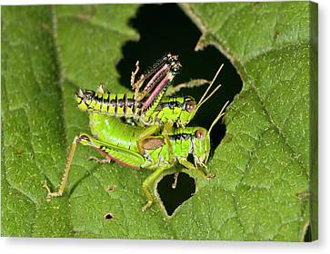 Green Mountain Grasshoppers Mating Canvas Print by Bob Gibbons