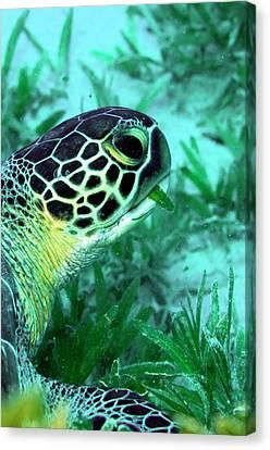 Green Sea Turtle Feeding Canvas Print by Louise Murray