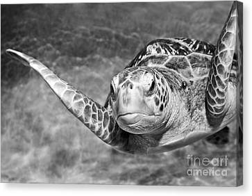 Green Sea Turtle. Canvas Print by Jamie Pham