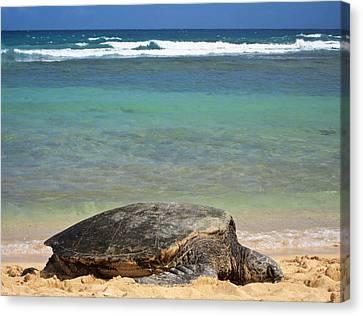 Green Sea Turtle - Kauai Canvas Print by Shane Kelly