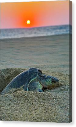 Green Sea Turtle Laying Eggs, Hotelito Canvas Print by Douglas Peebles
