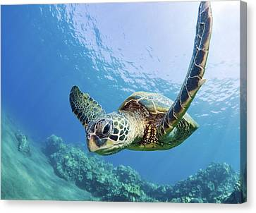 Green Sea Turtle - Maui Canvas Print by M Swiet Productions