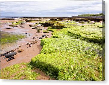 Green Sea Weed On Seahouses Beach Canvas Print by Ashley Cooper