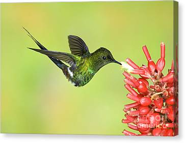 Green Thorntail Hummingbird Canvas Print by Anthony Mercieca