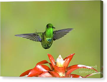 Green Thorntail Male Canvas Print by Anthony Mercieca
