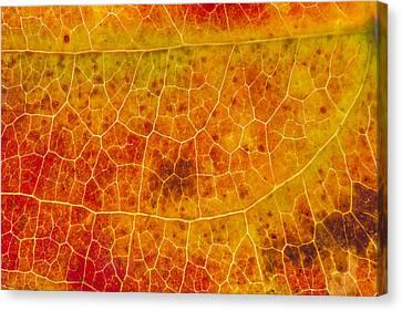 Greenbrier Leaf In Fall Canvas Print by Steven Schwartzman