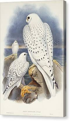 Greenland Falcon Canvas Print by John Gould