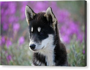 Greenland, Sisimiut, Young Husky Dog Canvas Print by Aliscia Young