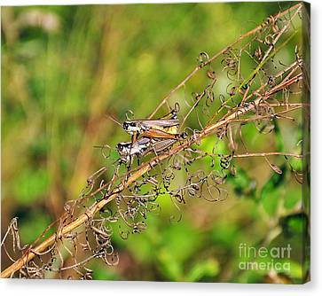 Gregarious Grasshoppers Canvas Print by Al Powell Photography USA