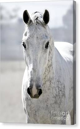 Grey Ghost Canvas Print by Holly Martin