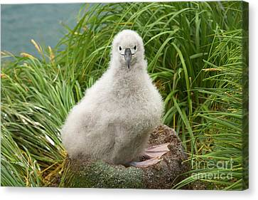 Grey-headed Albatross Chick S Georgia Canvas Print by
