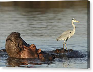 Grey Heron On Hippopotamus Kruger Np Canvas Print by Perry de Graaf