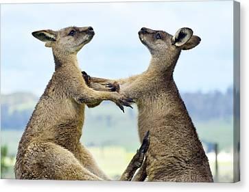Grey Kangaroo  Males Fighting Tasmania Canvas Print by David Parer and Elizabeth Parer Cook