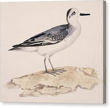 Grey Phalarope, 19th Century Canvas Print by Science Photo Library