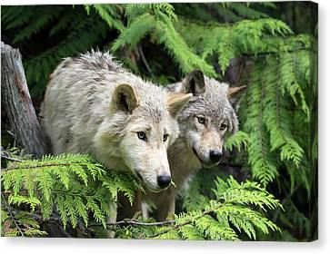 Grey Wolves Canvas Print by Dr P. Marazzi