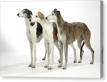 Greyhound Dogs Canvas Print by John Daniels