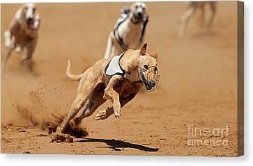 Greyhound Races Canvas Print by Marvin Blaine