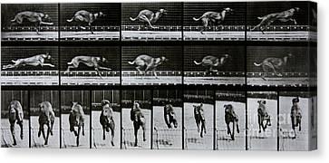 Greyhound Running Canvas Print by Eadweard Muybridge