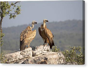 Griffon Vulture Pair Extremadura Spain Canvas Print by Gerard de Hoog