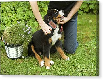 Grooming Bernese Mountain Puppy Canvas Print by Jean-Michel Labat