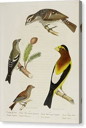 Grosbeak And Crossbill Canvas Print by British Library