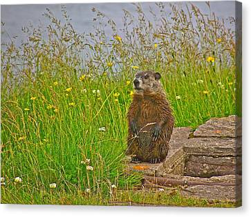 Groundhog At Point Amour In Labrador Canvas Print by Ruth Hager