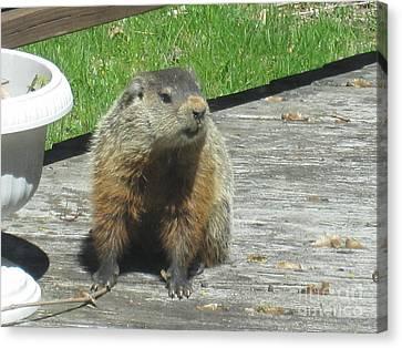 Groundhog Holding A Stick Canvas Print by Tara  Shalton