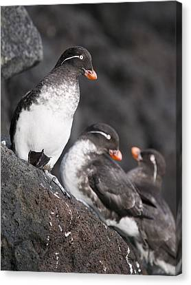 Group Of Parakeet Auklets, St. Paul Canvas Print by John Gibbens