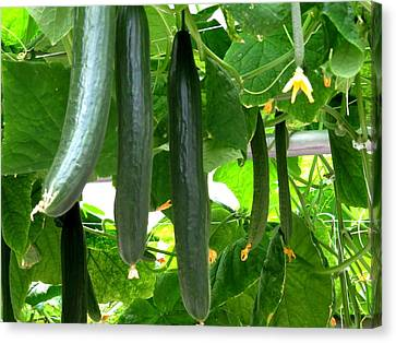 Growing Cucumbers Canvas Print by Zina Stromberg