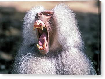 Growling Dominant Male Hamadryas Baboon Canvas Print by Photostock-israel