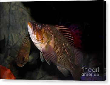 Gruper Fish 5d24129 Canvas Print by Wingsdomain Art and Photography