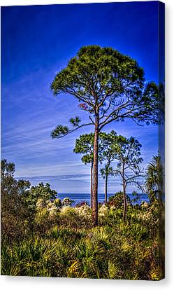 Gulf Pines Canvas Print by Marvin Spates