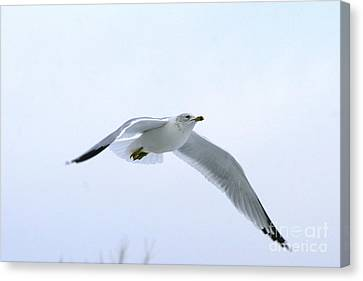 Gull On White Canvas Print by Neal Eslinger