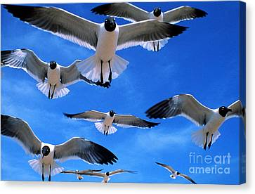 Gulls In Flight Canvas Print by Geoge Ranalli