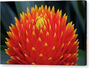 Guzman Conifer Bromeliad, Guzmania Canvas Print by Thomas Wiewandt