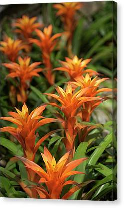 Guzmania Sanguinea Flowers Canvas Print by Maria Mosolova