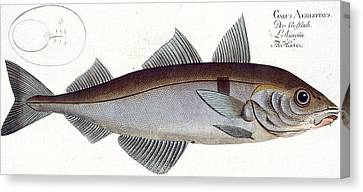 Haddock Canvas Print by Andreas Ludwig Kruger