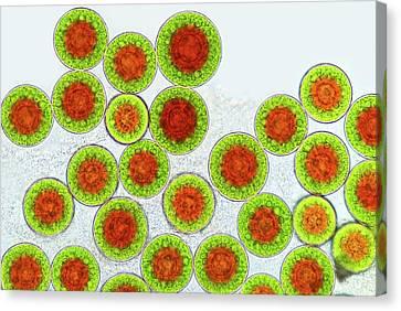 Haematococcus Algae Canvas Print by Marek Mis