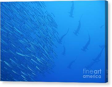 Hammerhead Sharks By School Of Fishes Canvas Print by Sami Sarkis