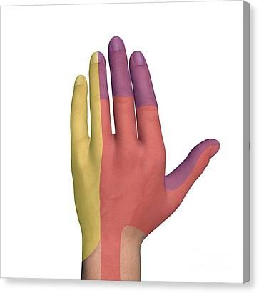 Hand Dorsal Nerve Regions, Artwork Canvas Print by D & L Graphics