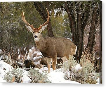 Handsome Buck Canvas Print by Donna Kennedy