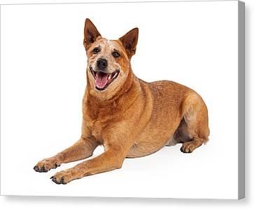 Happy Red Heeler Dog Laying  Canvas Print by Susan  Schmitz