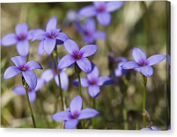 Happy Tiny Bluet Wildflowers Canvas Print by Kathy Clark